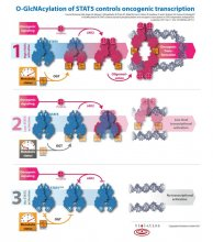 Der metabolische Status der Zelle und ihrer Versorgung mit Nährstoffen wird unter anderem von der O-linked N-acetylglucosamine (GlcNAc) transferase (OGT) signalisiert. Dieses Enzym überträgt GlcNAc (orange Quadrate) als Markierung auf STAT5 an die OH-Gruppen von Threonin 92 (T). Zytokinrezeptoren aktivieren die Kinase JAK2, die STAT5 am Tyrosin 694 (Y) phosphoryliert (rote Kreise). Das führt zur schrittweisen Aktivierung von STAT5, was rot dargestellt wird.